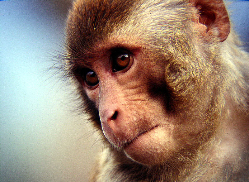 bonnet_macaque